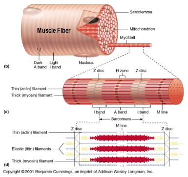 Muscle Biology Physiology Basic Science Orthobullets